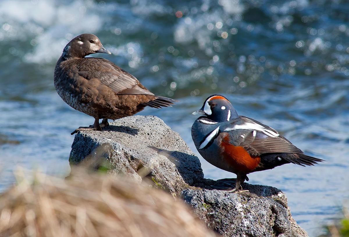 uccelli marini islandesi che forniscono piumini
